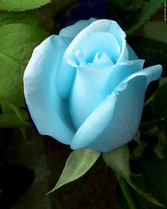 rosa azul cielo