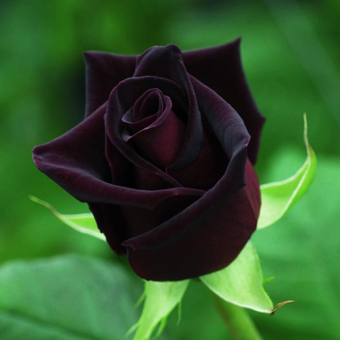 rosa negra natural