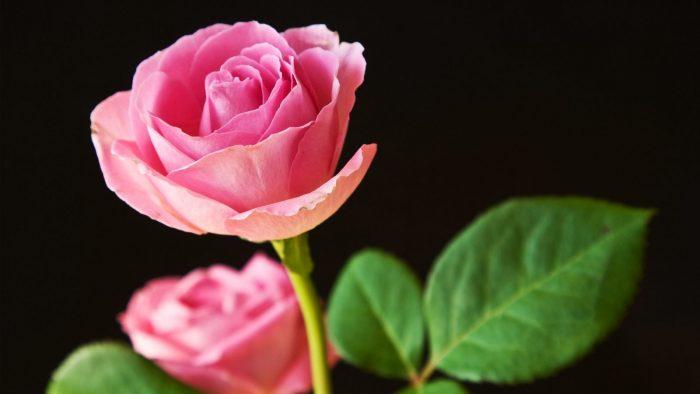 rosa rosado oscuro