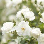 rosas blancas naturales