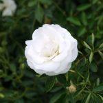 rosa blanca natural