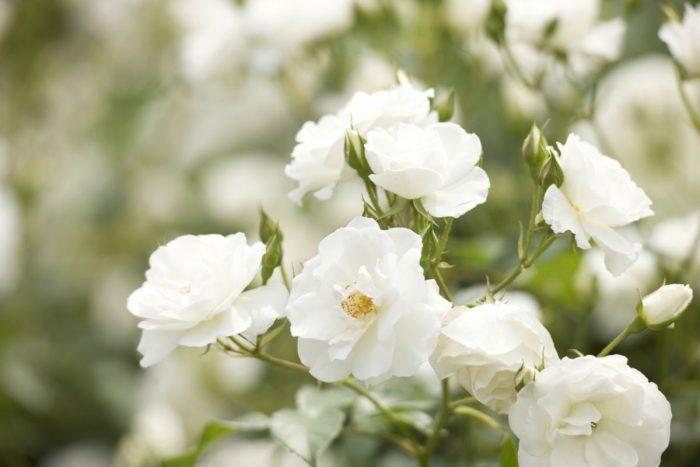 bellas rosas blancas