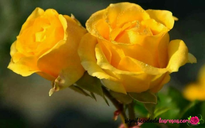 dos rosas amarillas