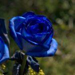 rosa azul fuerte
