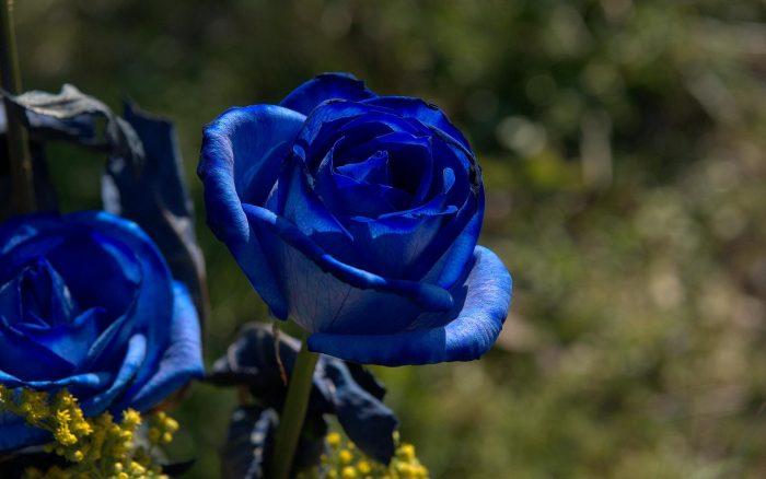 rosa azul imagenes