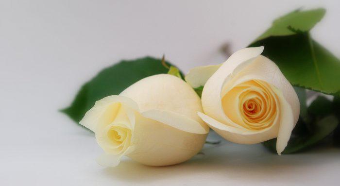 dos rosas blancas