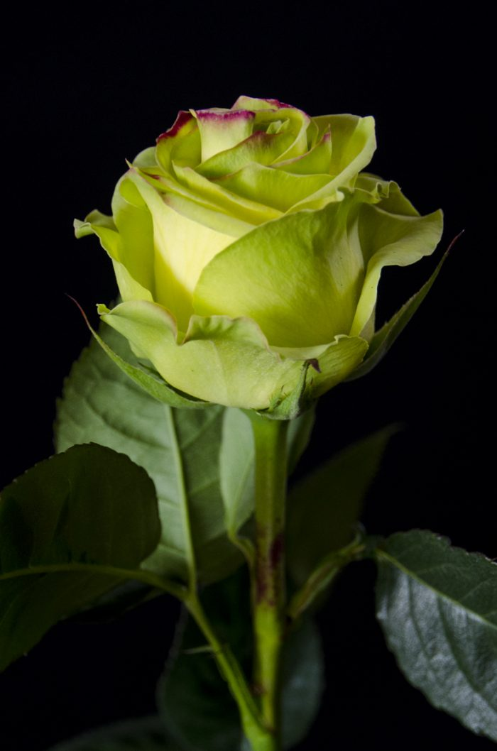 rosa verde con fondo negro