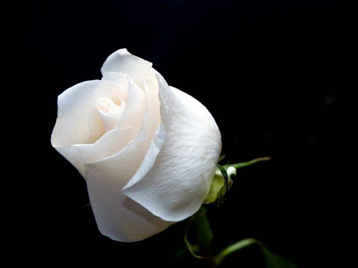 rosa blanca fondo oscuro