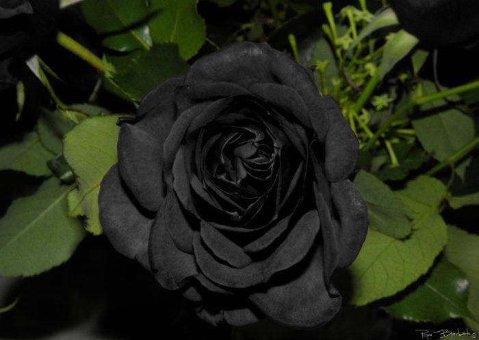 foto de rosa negra