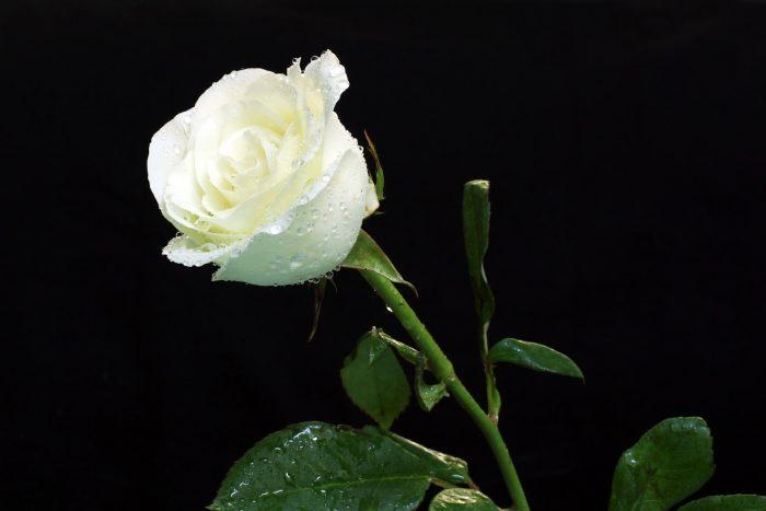 foto de rosa con fondo negro