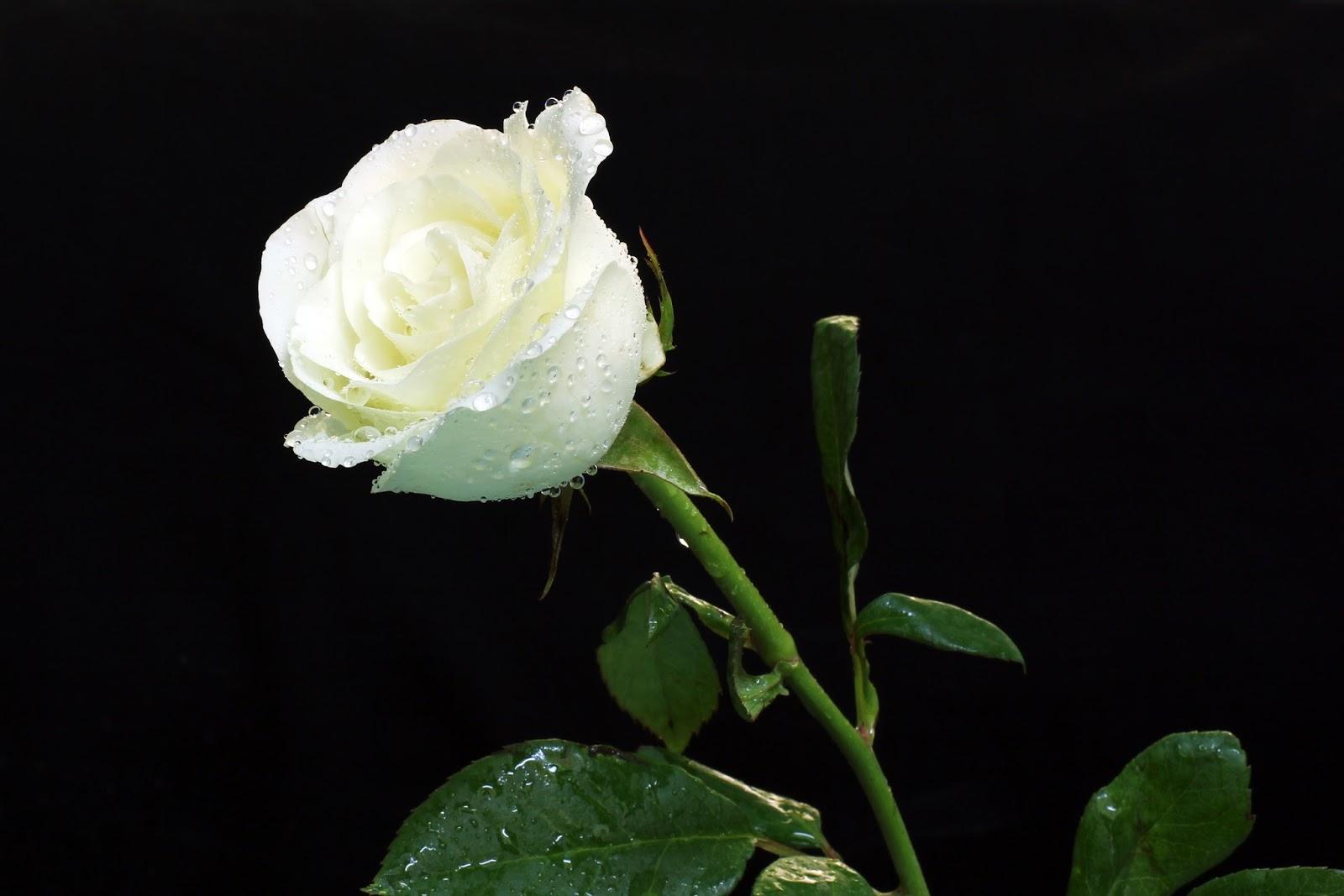 Significado De Las Rosas Blancas Más Hermosas Del Mundo
