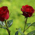 rosas rojas naturales