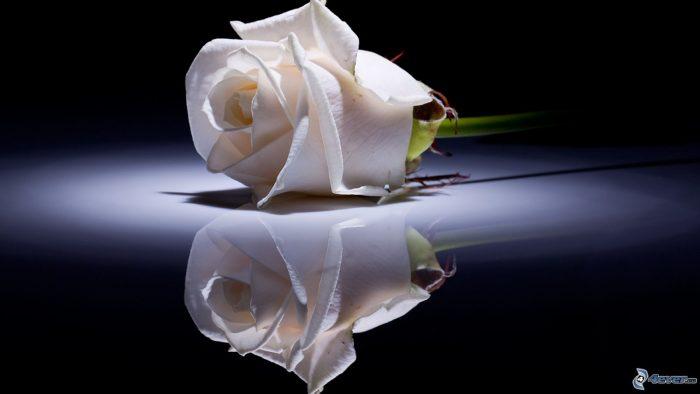 rosa blanca con fondo negro