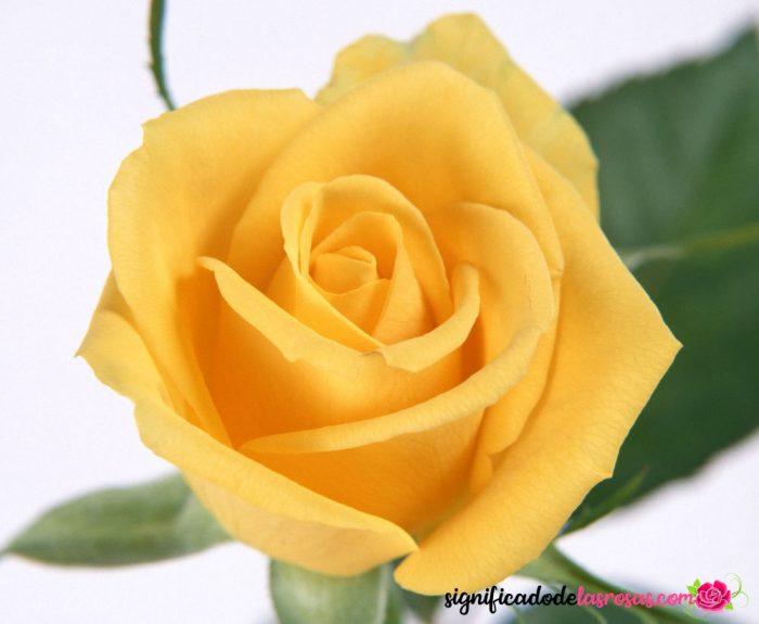 una sola rosa amarilla con fondo blanco