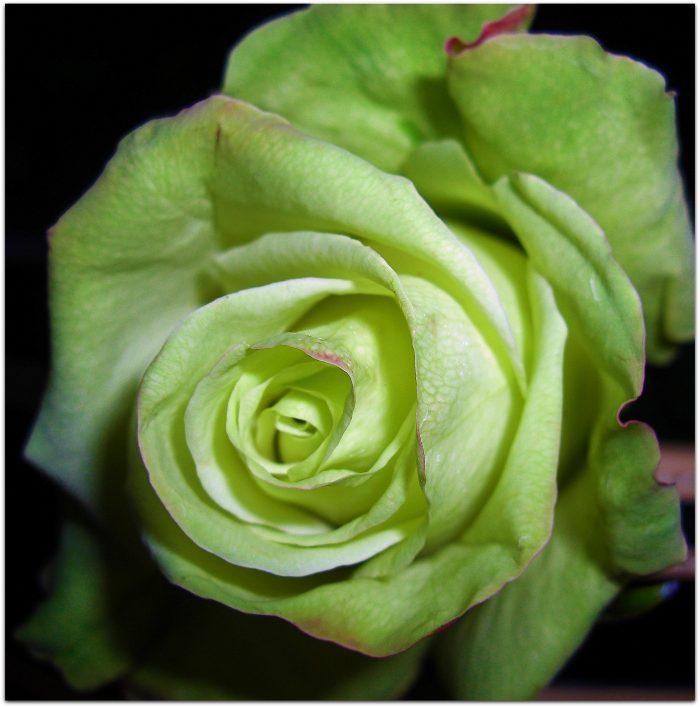 una sola rosa verde