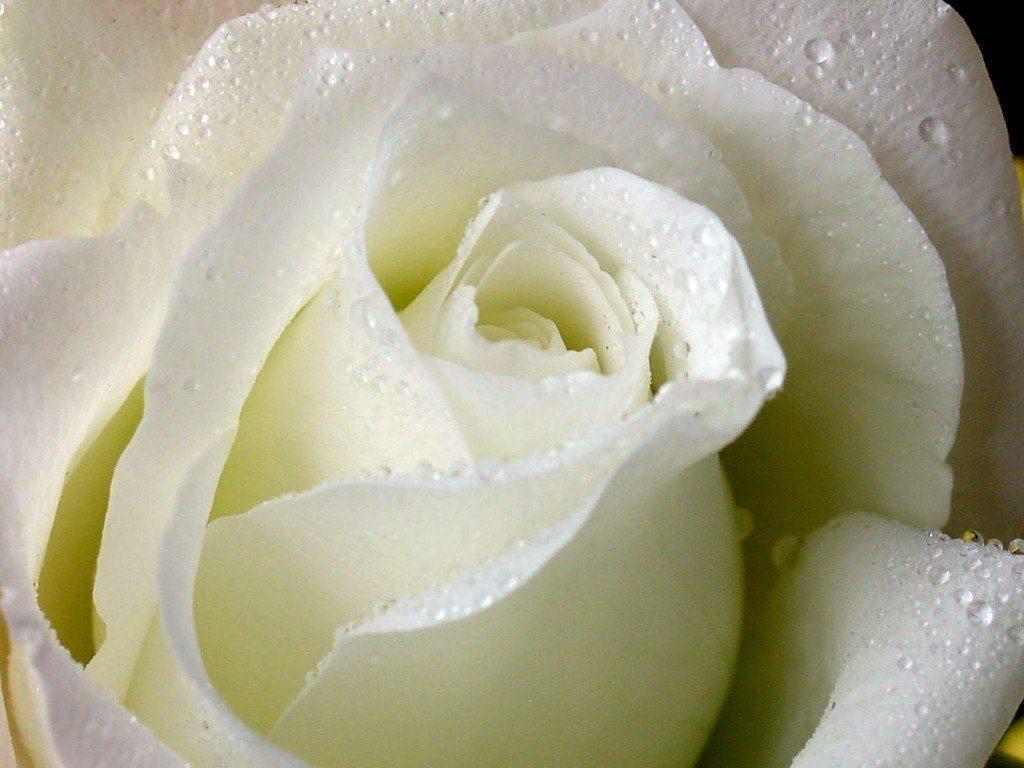Significado De Las Rosas Blancas Mas Hermosas Del Mundo