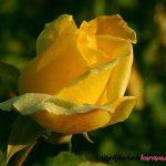 rosa amarilla en la naturaleza