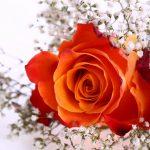 foto de rosas naranjas naturales