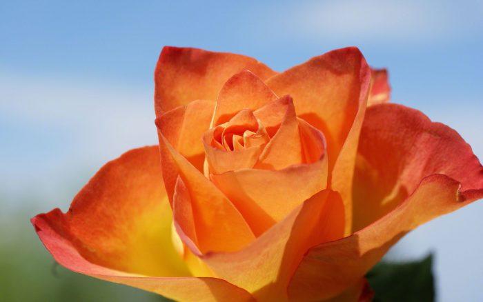 rosa anaranjada con rojo