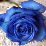 rosa azulada