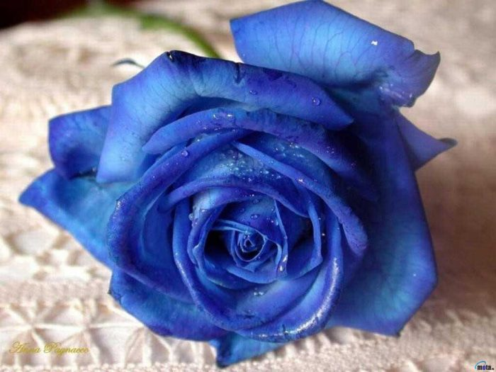 rosas color turquesa