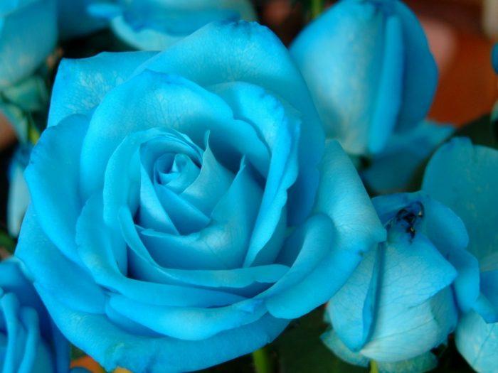 ramo de rosas azules celeste