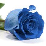 cual es el significado de las rosas azules