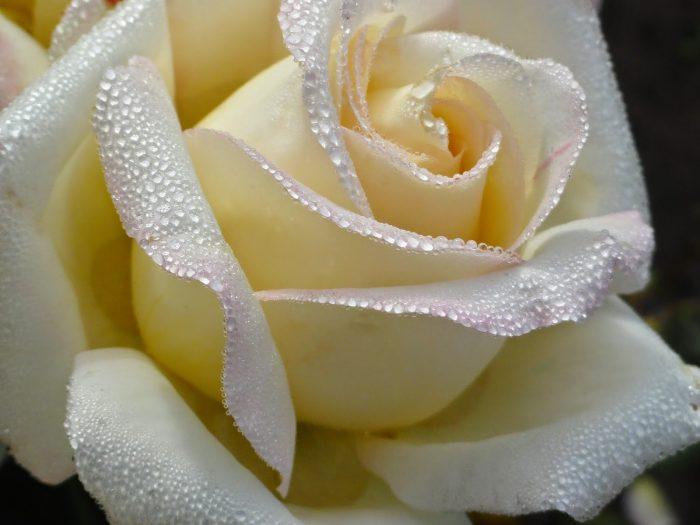 rosa blanca con gotas de agua