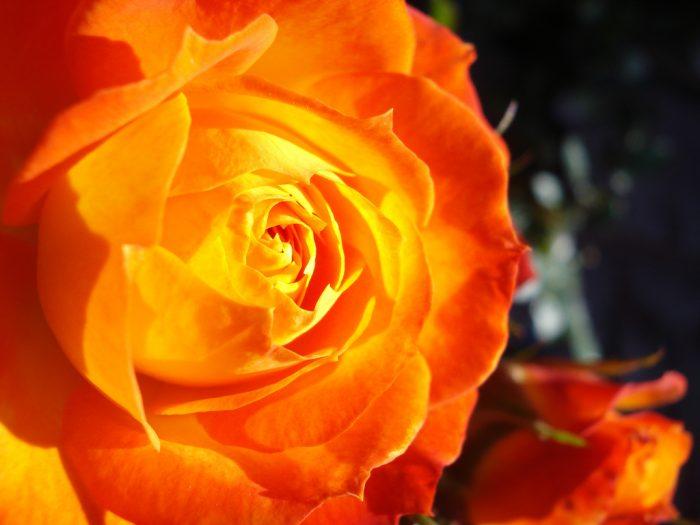 imagenes de rosas color salmon
