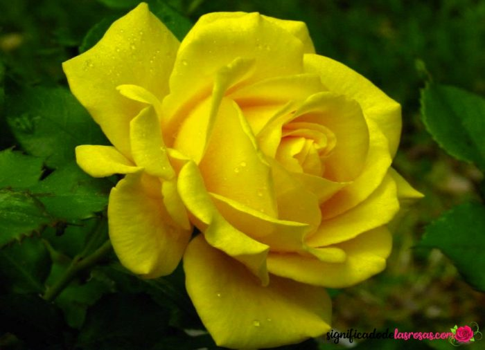rosas amarillas mas hermosas del mundo