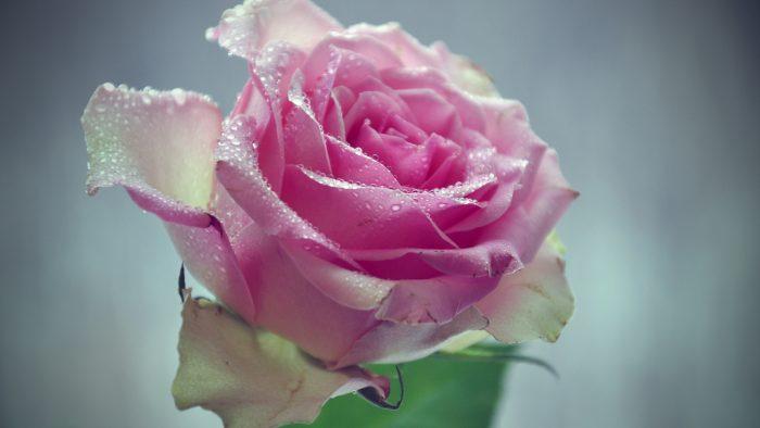 rosa fucsia claro