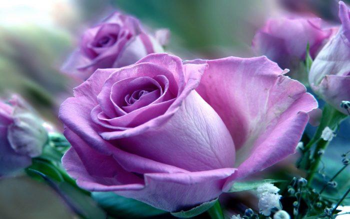 rosa morado claro