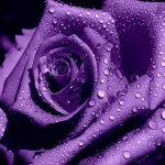 rosa morada con gotas