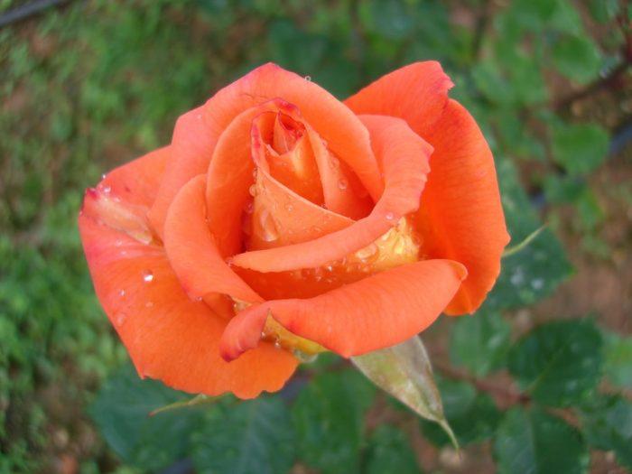 foto de rosa anaranjada