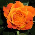 una sola rosa naranja