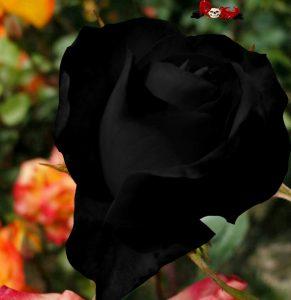 Imágenes de rosas negras