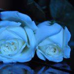 foto de rosas azules