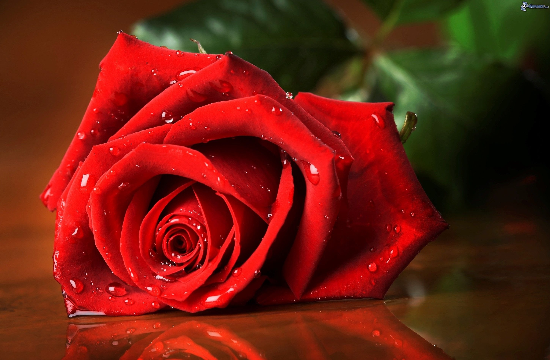 Significado De Las Rosas Rojas Más Hermosas Del Mundo Entero