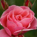 fotografía de rosa rosada
