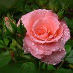 rosa rosa son agua