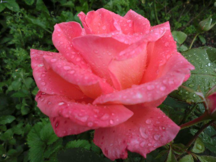foto de rosa rosa