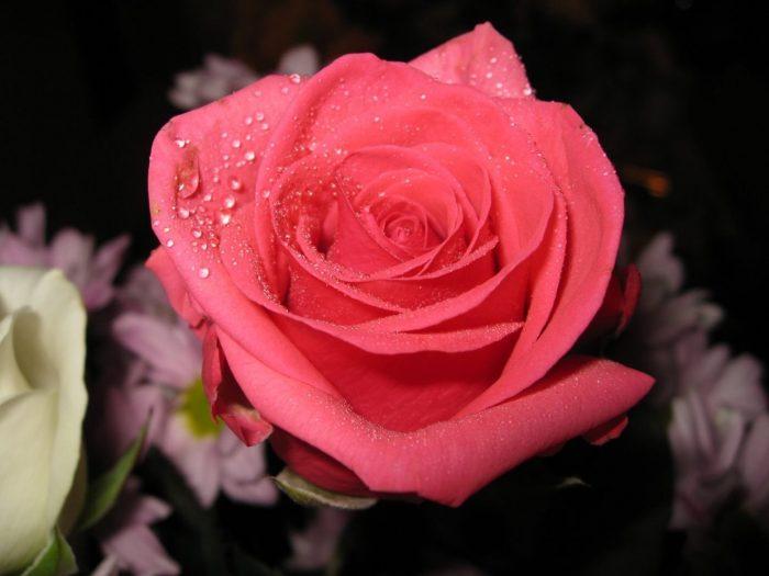 rosa rosa oscuro