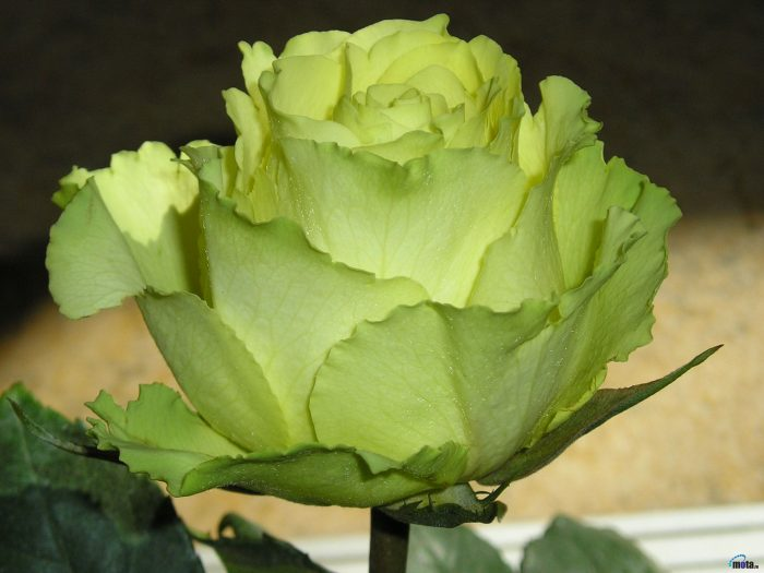 rosa verde natural