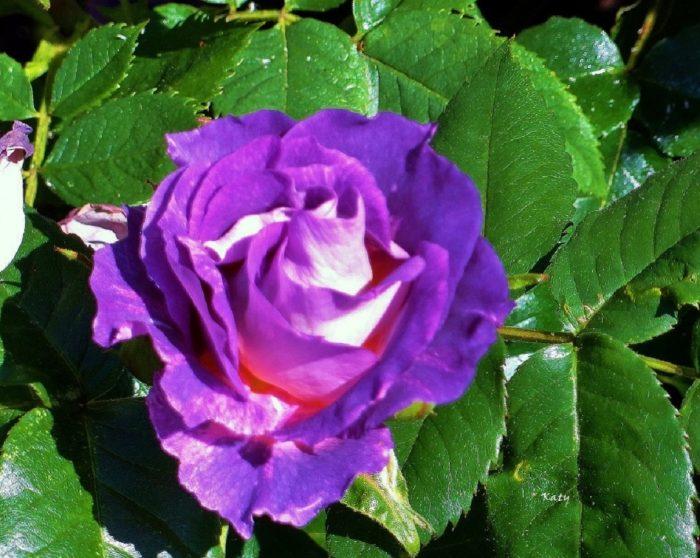 fotos de rosas lilas
