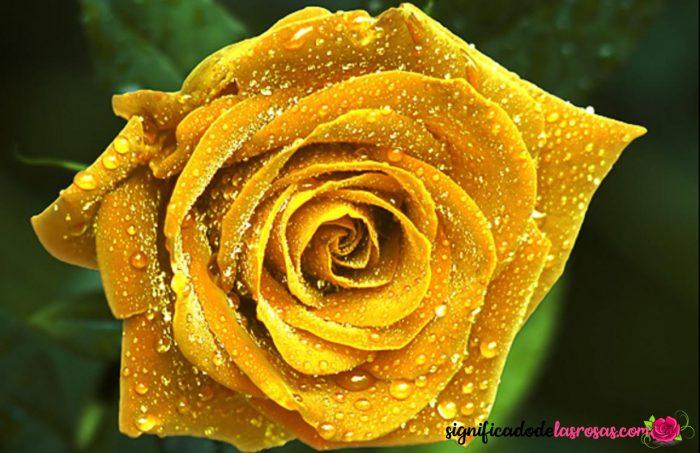 imagen de rosa amarilla