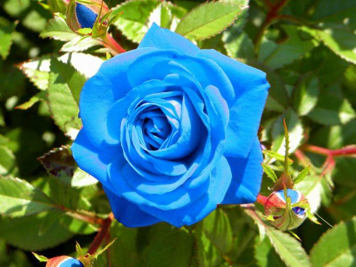 rosa azul celeste