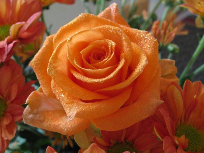 significado de la rosa anaranjada