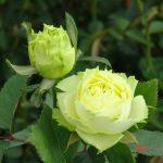 dos rosas verdes naturales
