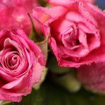 imagen de rosas fucsia