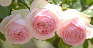 tres rosas rosadas